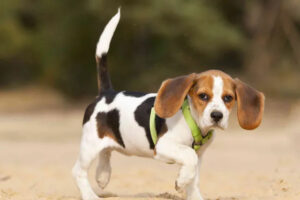 beagle limping