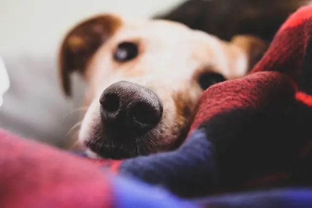 old beagle awake in the night