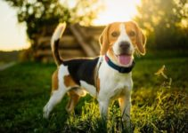 Beagle Dog Breed – Facts and Information You Need to Know