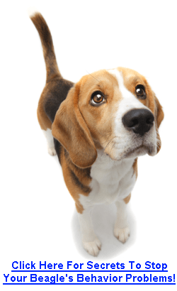 Beagle Training Tips