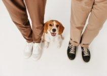 Top 6 Pros and Cons of Owning Beagles