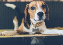 4 Common Beagle Problems You Should Know