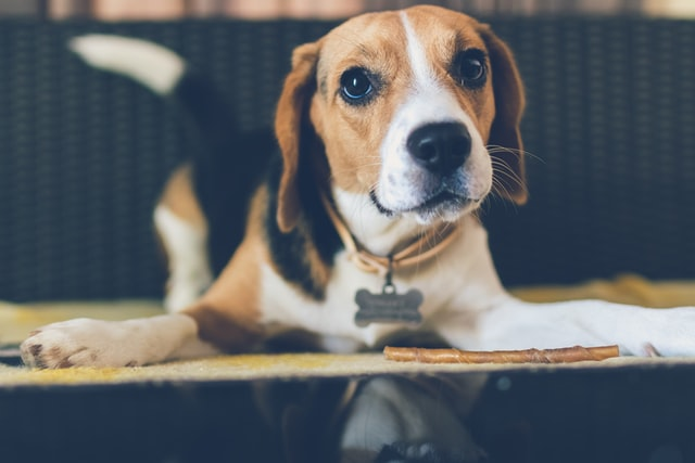 beagle behavior problems