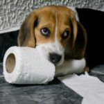 How to potty train beagles