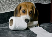How to Potty Train Beagle Dogs