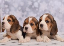 A Beginner's Guide to Caring for Beagle Puppies