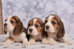 How to take care of beagle puppies