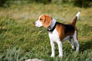 How to Identify a Purebred Beagle