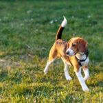 How to Fatten Up a Skinny or Thin Beagle