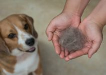 How to Prevent Your Beagle from Shedding