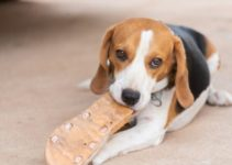 How to Stop Aggressive or Destructive Chewing in Beagles