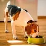 Beagle Food Information