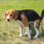 beagle diarrhea