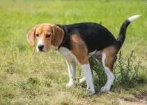 Beagle Diarrhea: What to Do if Your Beagle Has Diarrhea