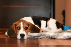 beagle pain syndrome