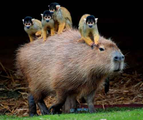 Capybara and Squirrel monkeys