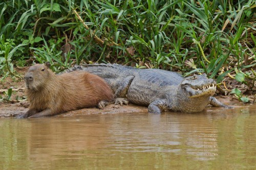 Capybara and crocodile