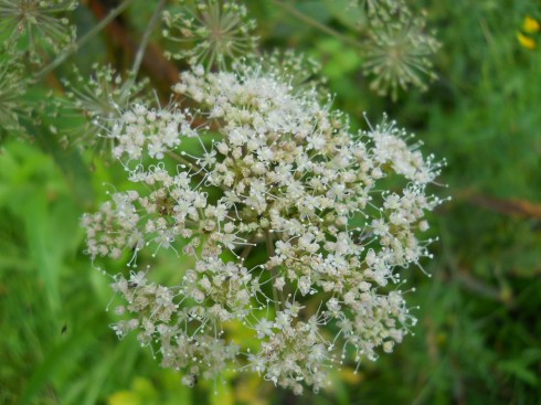 Cow Parsley in my garden