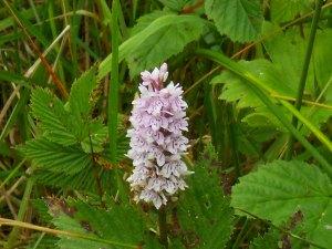 Wild Orchid in my Irish garden