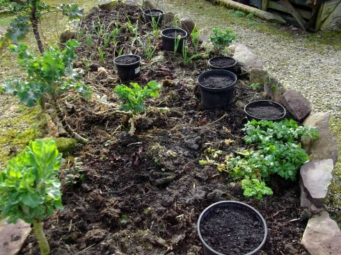 growing onions in potager beds at Bealtaine Cottage