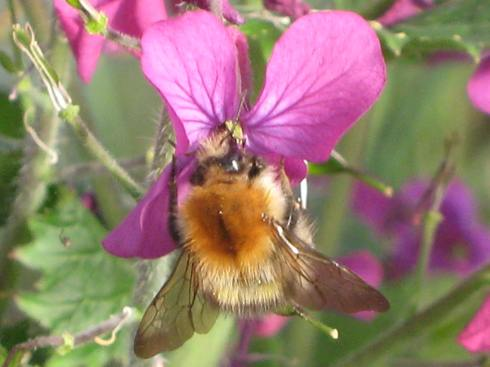 Bee on Linaria flower at Bealtaine Cottage