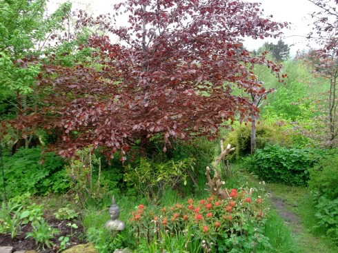 Copper Beech, Euphorbia and Rosa Canina at Bealtaine Cottage