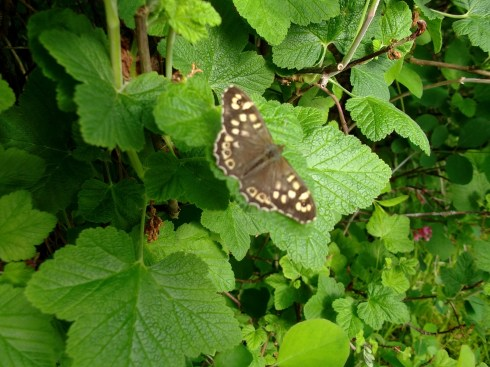 Speckled Wood Pararge aegeria at Bealtaine Cottage