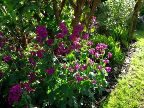 Lunaria in flower at Bealtaine Cottage