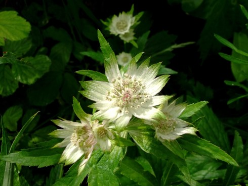 Astrantia by the Fairy Wood at Bealtaine Cottage this morning