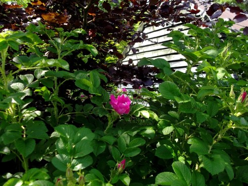 Rosa Rugosa in bloom at Bealtaine Cottage