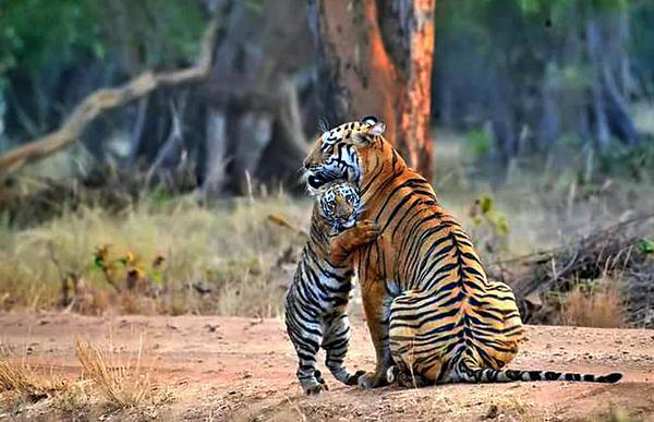 Summary of Razia the Tigress by Keki N. Daruwalla