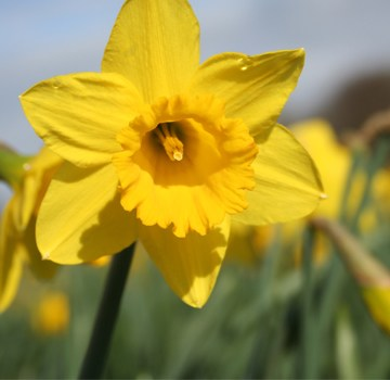 Summary of Daffodils by William Wordsworth in Hindi