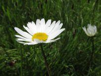 Ox eye daisy