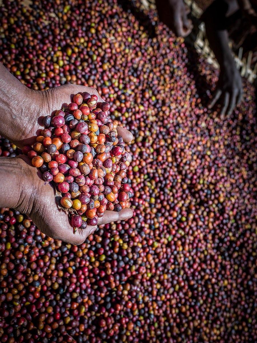 Arabica Vs. Robusta Coffee – BeanPick