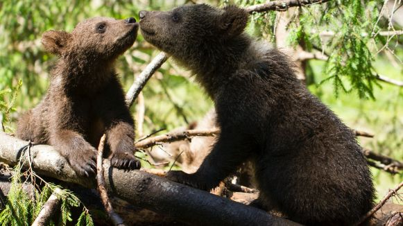 bearagain-contact-bear-cubs