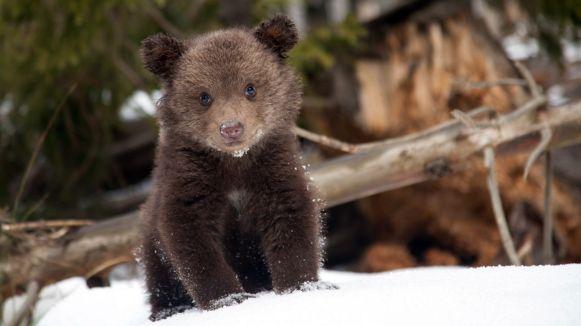 bearagain-get-involved-bear-cub-winter-snow