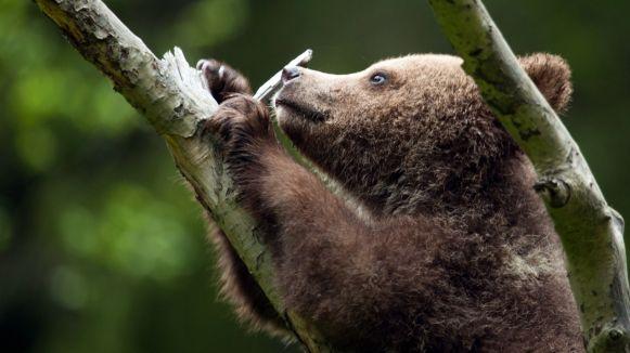 bearagain-homepage-bear-cub-climbing-tree