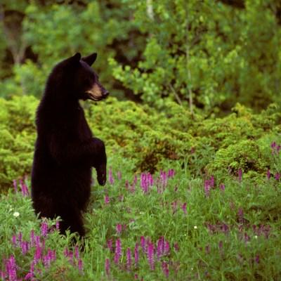 bear_standing_in_vetch.jpg