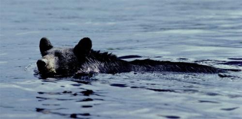 bear_swimming.jpg