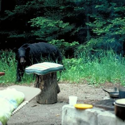 campground_bear.jpg