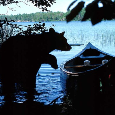 <h2>Looking for leftovers</h2><p>Seeing a bear is a joy or a problem, depending upon the person's attitude.  More and more people are moving into bear country.   The attitudes of these people will dictate the future of the bears that live around them.</p>