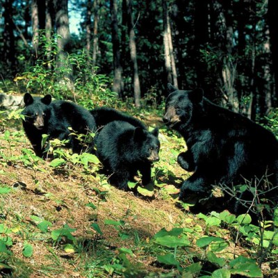 <h2>Mother and 7-month-old cubs</h2><p>Black bear mothers stay with their cubs until the cubs are 16 or 17 months old. Then, in late May or June, just before the mothers begin attracting males to mate for their next litter, the mothers separate from their yearlings but allow them to remain in the maternal territory.</p>