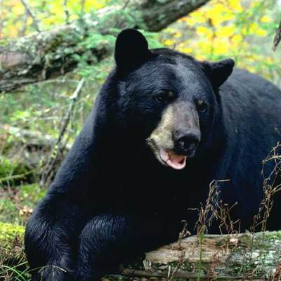 <h2>Black bear male</h2><p>Nearly a record for a wild black bear. The heaviest wild male accurately weighed was 880 pounds. The heaviest wild female was 520 pounds</p>