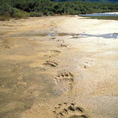"""<h2>Grizzly tracks</h2><p>""""Seeing animal tracks is sometimes more powerful than seeing the animals themselves"""" Cody Dwire 9/22/2000. """"It is an honor to walk where such magnificent animals have gone before"""" Lee Williams 10/3/2000.</p>"""