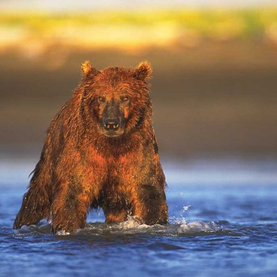 """<h2>Grizzly devil</h2><p>The rising sun gives this grizzly a devilish look. But there is a big difference between the demonized bears of our folklore and the bears of reality. After spending hundreds of hours close to coastal grizzlies like this one, Lynn Rogers says, """"I've never felt the least bit threatened by them. I'm more worried that I might scare THEM!""""</p>"""