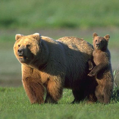<h2>The Protector</h2><p>Grizzly cubs run to their mothers for protection, while black bear cubs run for trees. Attacks by defensive mothers account for 70 percent of human deaths from grizzly bears, but mother black bears are not known to have killed anyone in defense of cubs. The idea that black bear mothers are likely to attack is one of the biggest misconceptions about black bears.</p>