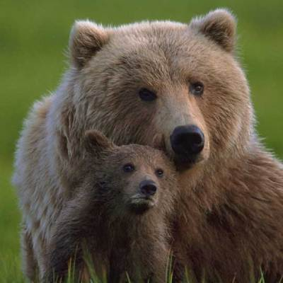 <h2>Heir to her knowledge</h2><p>Bears may be the most intelligent of the North American mammals according to their brain structure, the experience of animal trainers, and tests at the Psychology Department at the University of Tennessee. Grizzly bear mothers spend 1½ to 3½ years showing their cubs where and how to obtain food. The cubs' ability to form mental maps and remember locations may exceed human ability.</p>