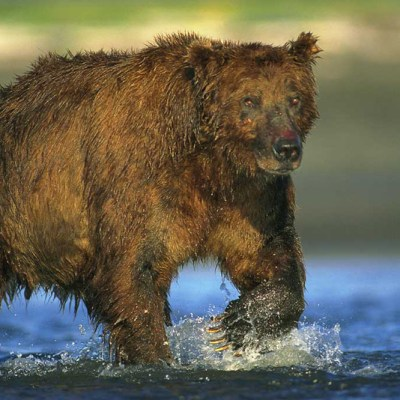 <h2>Mature male coastal grizzly bear</h2><p>At low tide, coastal grizzlies search ocean bays for salmon that are gathering to swim up streams to spawn.</p>