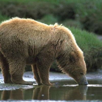 <h2>Drinking from a glacial stream</h2><p>This 2½-year-old cub left her mother to drink from a glacial stream.</p>