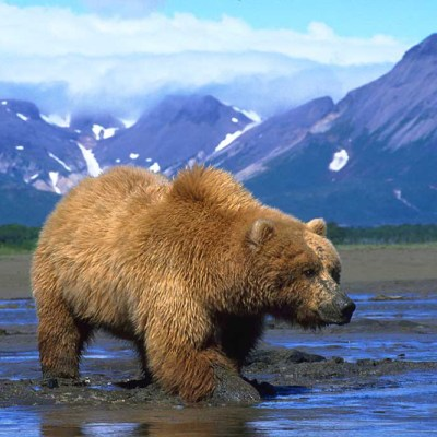 <h2>Working for clams</h2><p>The grizzly's strong forelegs and large claws help them dig faster than the razor clams and butter clams can retreat–sometimes to depths of over two feet under the mud.</p>